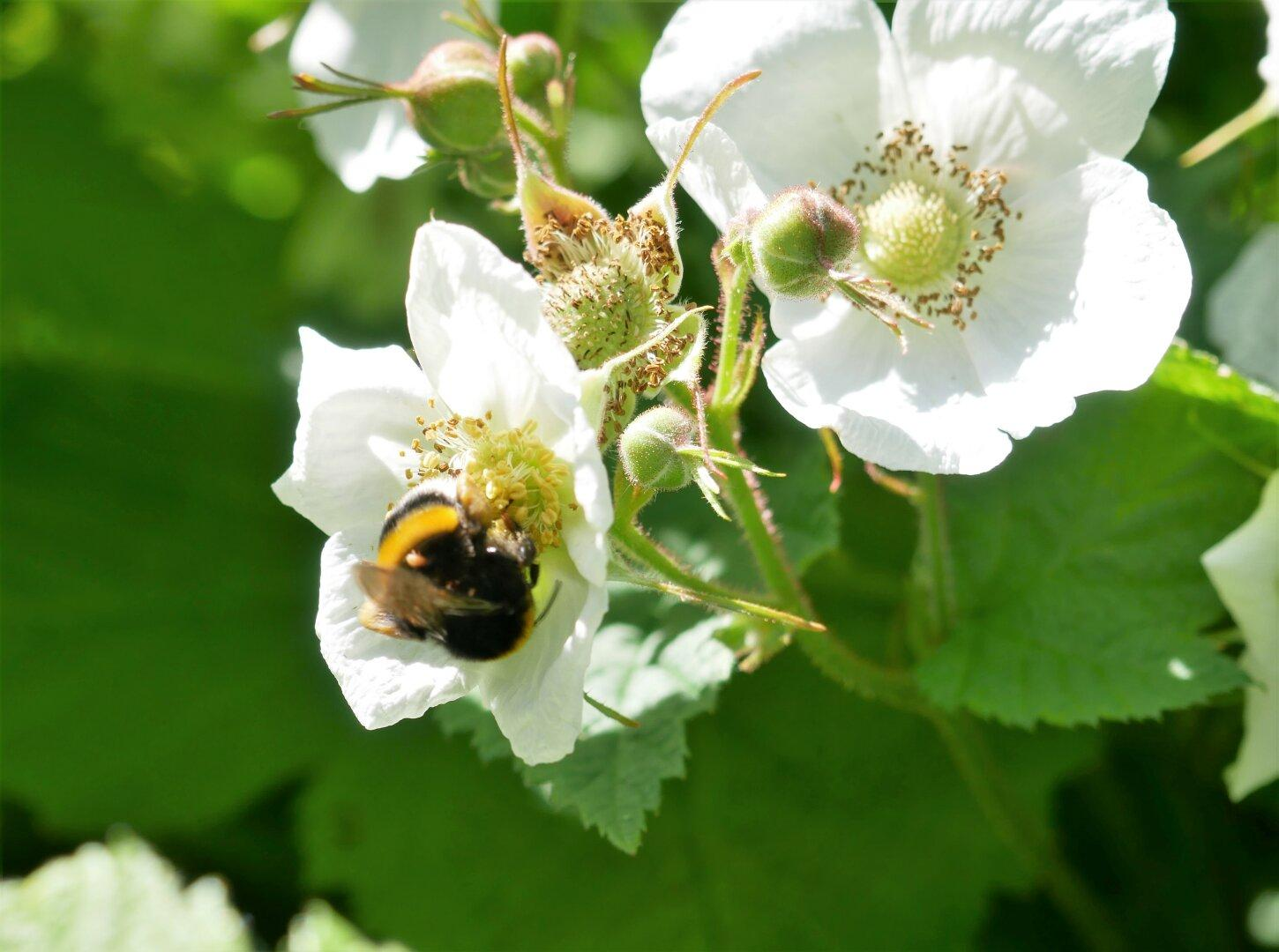 A bee in a white blossom